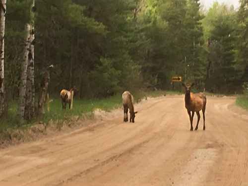 Elk in Lane 2017 500 wide