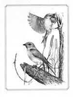 Bluebirds pencil on lintex brd 150